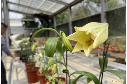 金門野百合的「浯百」品種,只有開花當天花瓣呈現奶油黃色。(記者吳正庭攝)