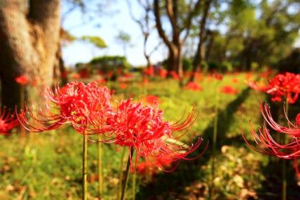 圖為往年地區紅花石蒜綻放的資料畫面。(林務所提供)