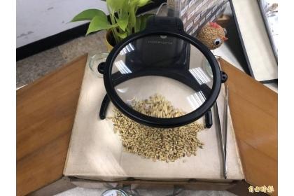 水稻種子經過辨識後,可保持品種的優良。(記者楊媛婷攝)