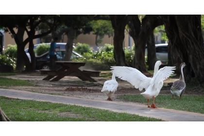 國立中興大學是國內著名的有機生態校園,圖為校園中的鵝鴨群。圖/中興大學提供