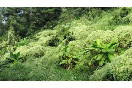 任意進口動植物可能造成入侵種問題,圖為果園被小花蔓澤蘭全部覆蓋。圖/聯合報系資料照片