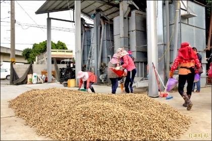 土庫農會示範二階段花生烘乾,可大幅提高花生收貯效率。(記者林國賢攝)