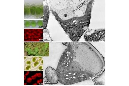 生長在陰暗環境下的卷柏發展出超大且獨特的二區體,呈杯狀 (上) 或二深裂片狀 (臺灣產姫卷柏,下)