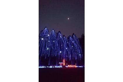 惠蓀林場「希望之樹」是以7棵高約20公尺的台灣杉,搭配上萬顆的LED燈泡裝飾而成,號稱全台最高與最天然的耶誕樹。(中興大學惠蓀林場提供)