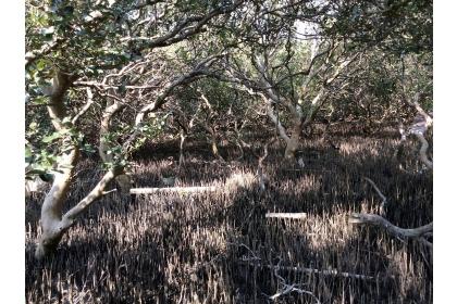 七股紅樹林