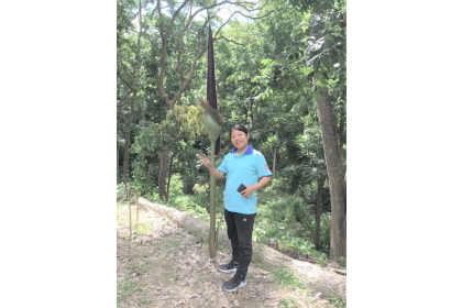台南市新化林場今年已發現250公分高的密毛魔芋,號召更多民眾一起來尋找破紀錄的高度。圖/新化林場提供