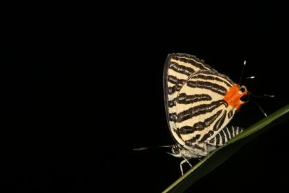 虎灰蝶成蟲(圖片提供王俊凱)