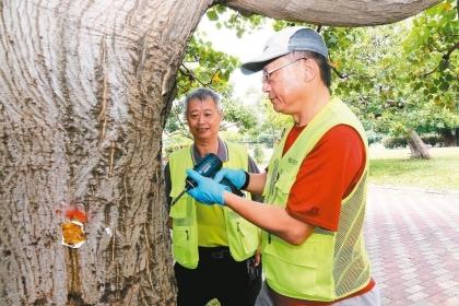 惠來公園裡的莿桐被「刺桐釉小蜂」入侵危害10餘年,興大植醫採「樹幹注射法」,治療台中市133棵莿桐。 圖/興大提供