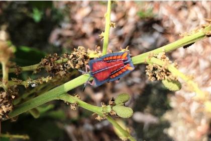 荔枝椿象第二期的若蟲。記者何烱榮/翻攝