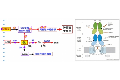 左為固殺草神經毒有關作用部位示意圖,右為NMDA受體模式圖 僅供參考