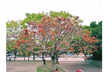 惠來公園裡的莿桐,今年綻放紅花。 圖/興大提供