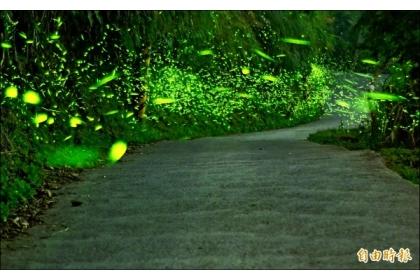 【自由時報】伍龍步道的出水仔地段,沿途可見螢火蟲群舞。(記者吳俊鋒攝)