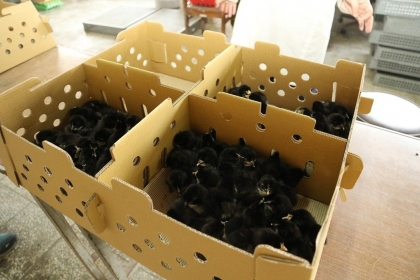 【聯合報】300隻「1日齡」的金門雛雞返鄉,希望協助當地雞農,建立具特色的金門土雞品牌。 圖/中興大學提供