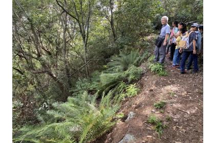 南投惠蓀林場內有許多稀有的「蘇鐵蕨」,被認為與稀土的分布有關。記者修瑞瑩/攝影