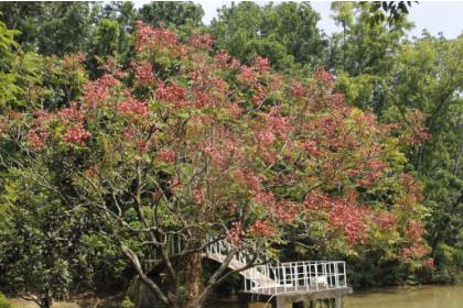 新化林場沖瀜池畔的台灣欒樹花、果正茂,在翠綠山林中有如「萬綠叢中一點紅」,相當醒目。        (記者黃文記攝)