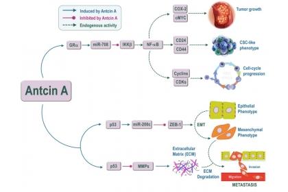 圖二:Antcin A透過GRα活化miR-708,可抑制增殖並誘導乳腺癌細胞的細胞週期停滯。