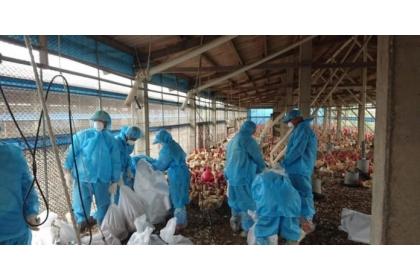 台灣禽場密集,若未注意生物安全,極易發生禽流感疫情。圖/本報資料照片