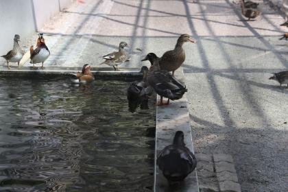 觀賞鳥籠內養有鴛鴦、綠頭鴨