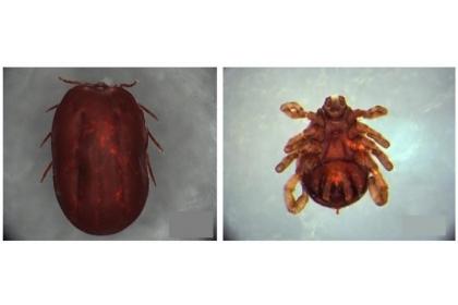 疾管署4月將「發熱伴血小板減少綜合症」(SFTS)列為第四類法定傳染病, SFTS傳染方式主要是由遭帶有SFTS病毒的蜱蟲叮咬傳染,或是透過直接接觸急性期、末期或死亡病患之血液、體液或呼吸道飛沫顆粒而導致感染。圖為微小扇頭蜱。圖左為雌蟲、圖右為雄蟲。(圖片來源/疾管署)