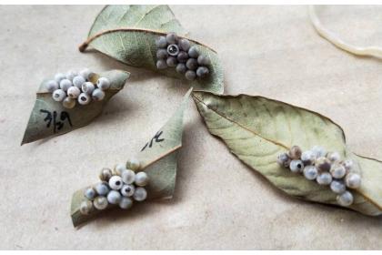 彰化縣政府收購的荔枝椿象卵片,可明顯看出平腹小蜂在荔枝椿象卵上寄生後孵出小蜂後留下的小孔,圖上方的荔枝椿象卵片有一個大孔,是孵出荔枝椿象的洞。記者何烱榮/攝影