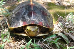 【媒體報導】中國「炒龜」市場熱,台灣原生的食蛇龜幾乎滅絕