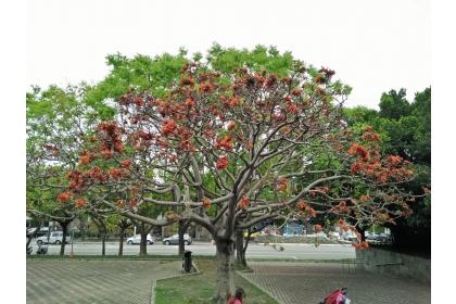惠來公園裡的莿桐近日已盛開