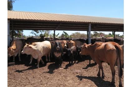 黃牛個性不似乳牛溫馴,對於身穿防護衣的人出現,戒心重,易緊張。(攝影/陳儷方)