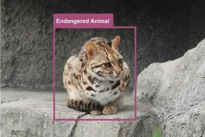 台灣瀕臨絕種的原生貓科動物-石虎