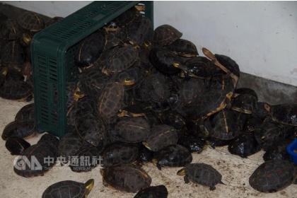 【中央社】台灣稀有的保育動物「食蛇龜」,因盜獵走私面臨生存危機。日月光基金會和中興大學保育團隊合作,透過建立保育示範區、教育推廣和改善救傷環境等面向,共同守護食蛇龜。圖為被盜獵的食蛇龜。(中興大學食蛇龜保育團隊提供)中央社記者許秩維傳真 106年10月5日